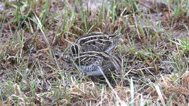 wilson's snipe feeding in a small marsh in pennsylvania - lancaster county pennsylvania stock videos & royalty-free footage