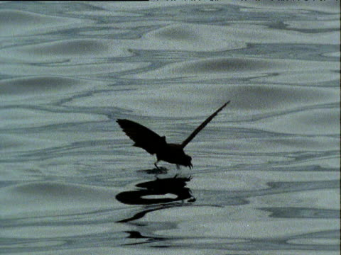 "vidéos et rushes de wilson's storm petrel delicately fluttering over surface of rippling water whilst feeding. - ""bbc natural history"""