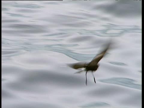 vídeos de stock, filmes e b-roll de wilson's storm petrel feeds on water's surface, port lockroy - tensão de superfície