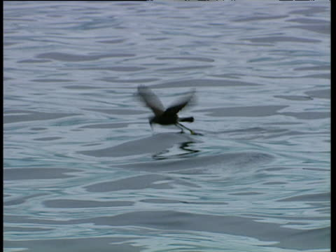 vídeos de stock, filmes e b-roll de wilson's storm petrels feed on water's surface, port lockroy - tensão de superfície