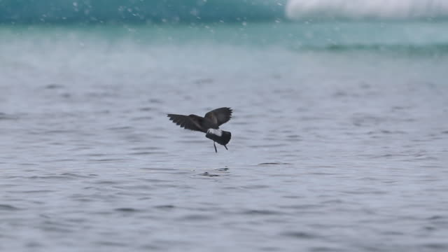 Wilson's Storm Petrels feeding on Antarctic ocean surface