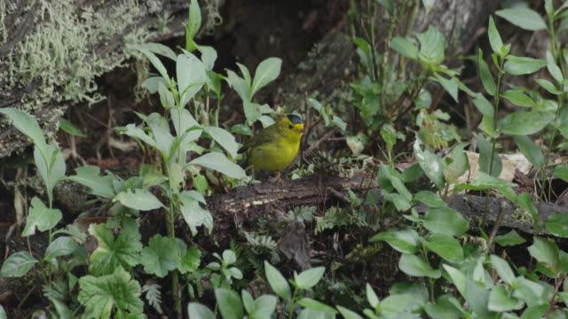 a wilson's warbler (cardellina pusilla) hops across the forest floor before flying off. - warbler stock videos & royalty-free footage