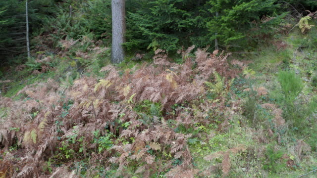 wilted bracken in scottish pine woodland displaying autumn colour - johnfscott stock videos & royalty-free footage