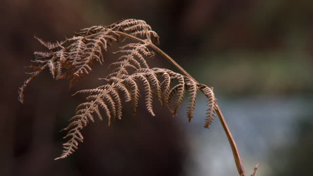 Wilted fern swaying in a gentle breeze in front of a waterfall in Scottish countryside
