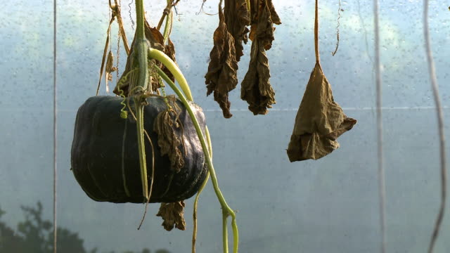wilted gourd and leaves - gourd stock videos & royalty-free footage