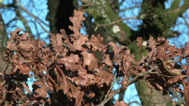 wilted oak leaves blowing gently in a breeze in rural scotland - johnfscott stock videos & royalty-free footage