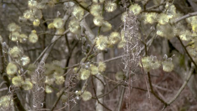 Wilted plant and flowers of a willow tree waving in the wind