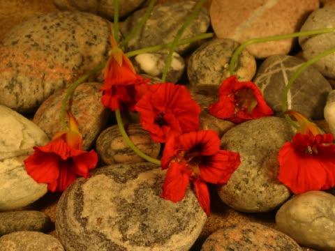 t/l cu wilted red flowers on pebbles  - staubblatt stock-videos und b-roll-filmmaterial