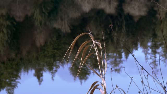 wilted reeds beside a loch - dead plant stock videos & royalty-free footage