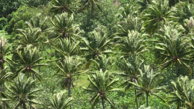 wind among coconut palms plantation in french polynesia - grove stock videos & royalty-free footage