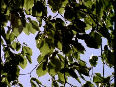 vidéos et rushes de wind and sun through beech tree leaves and branches, uk - arbre à feuilles caduques