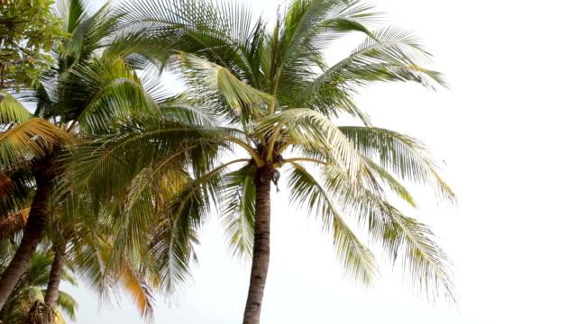 vídeos y material grabado en eventos de stock de golpe de viento hojas de palmera cocotera en beach.real tiempo. - árbol tropical