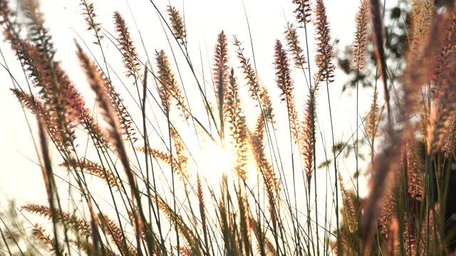 wind blowing into silver grass in the evening with beautiful sun light - uncultivated stock videos & royalty-free footage