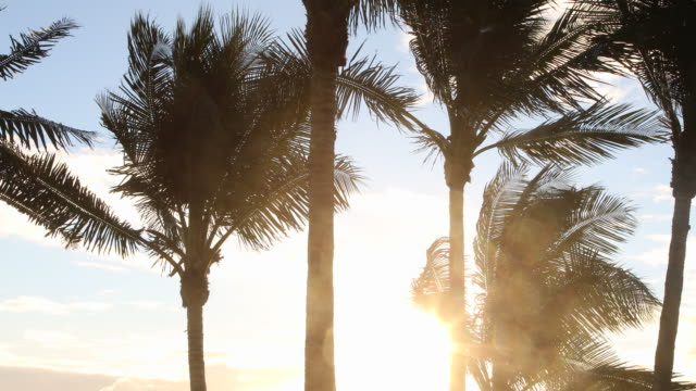 vidéos et rushes de wind blowing leaves on palm trees. - palmier