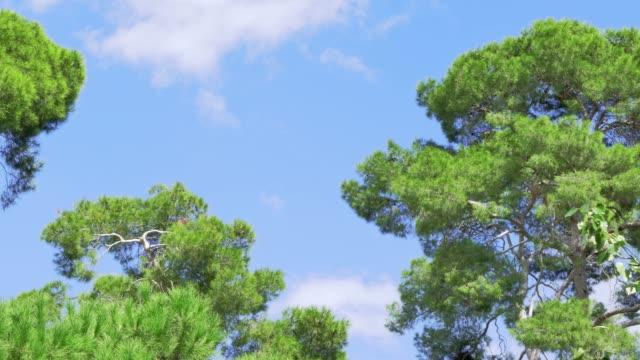 vídeos de stock e filmes b-roll de wind blowing on pine trees canopy with clear sky - copa da árvore