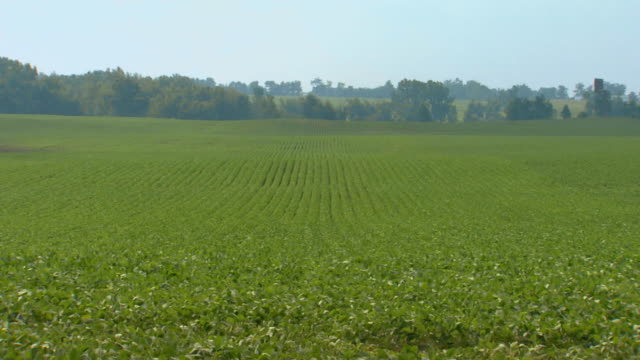 T/L WS Wind blowing through field of green plants / Holland, Michigan, USA