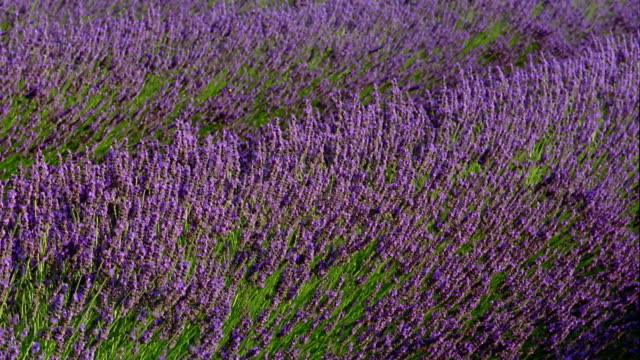 ms wind blowing through lavender flowers / france - lavender stock videos & royalty-free footage