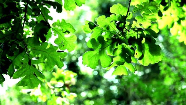 Wind blowing through oak tree leaves in summer.