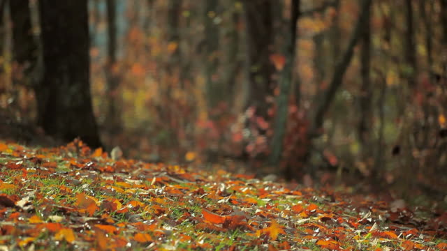 wind blown autumn foliage on slope - foglia video stock e b–roll