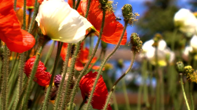 stockvideo's en b-roll-footage met wind blown mountain poppies - scherpte verlegging