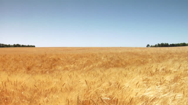 wind blows through a golden wheat field. - grano graminacee video stock e b–roll