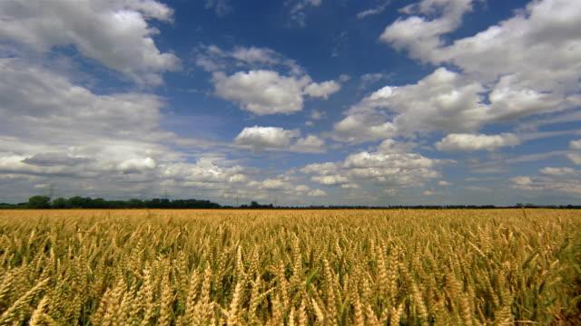 wind blows through a golden wheat field. - 小麦点の映像素材/bロール