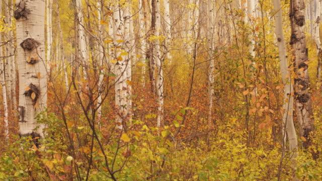 Wind blows through birch tree forest in Utah