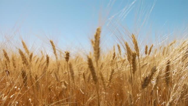 vidéos et rushes de wind blows through stalks of wheat in a field. - dakota du nord