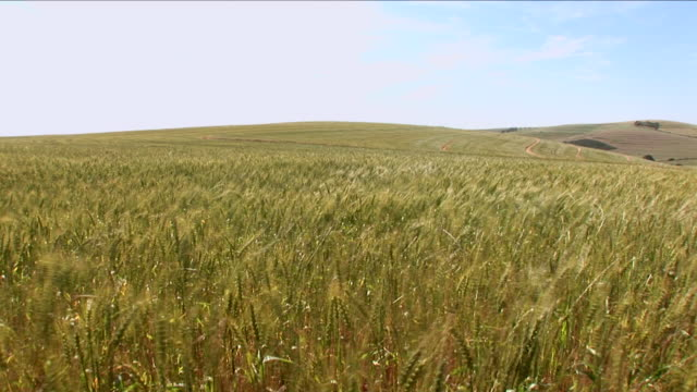 wind blows wheat on a hilly south african farm. - grano graminacee video stock e b–roll