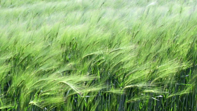wind in grass – slow motion - agricultural field stock videos & royalty-free footage