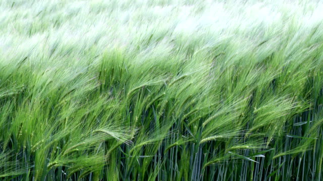wind in grass – slow motion - lawn stock videos & royalty-free footage