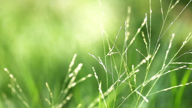 Wind in green grass