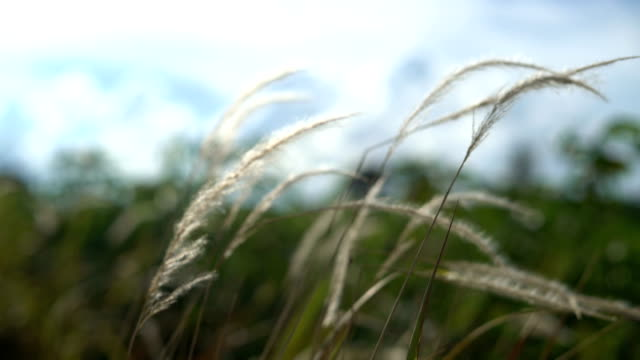 Wind of grass