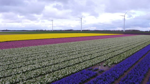 wind power and tulips field in holland - field stock videos & royalty-free footage