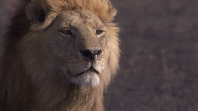 Wind ruffles the mane of a lion that stands on the savanna. Available in HD.