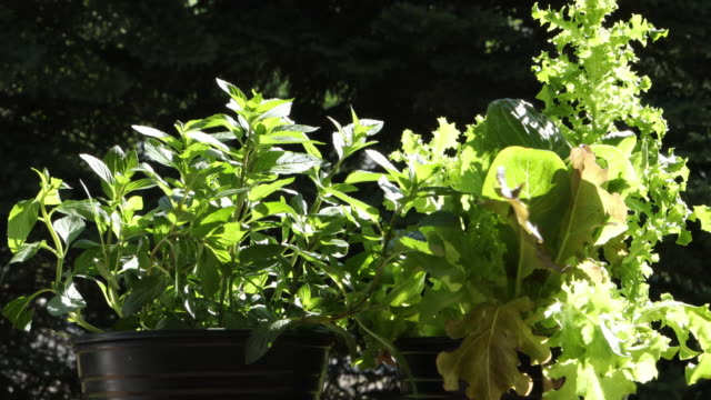 Wind ruffling leaves of pots of fresh herbs and lettuces in morning sun