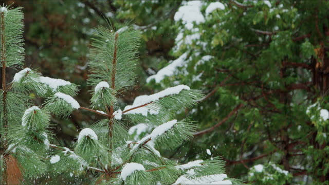 wind shakes the snow from a fir tree. yosemite national park - マツ科点の映像素材/bロール