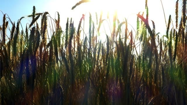 Wind schüttelt den Roggen in der Abendsonne