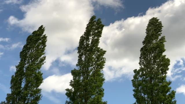vidéos et rushes de wind swept poplar trees. - arbre à feuilles caduques