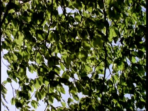 vidéos et rushes de wind through beech tree leaves, uk - arbre à feuilles caduques
