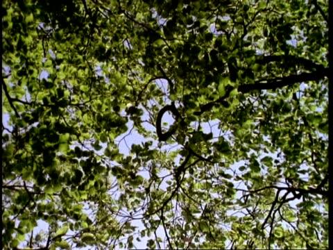 vidéos et rushes de wind through beech tree  trees, uk - arbre à feuilles caduques
