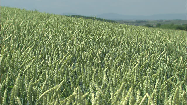 wind whips through a wheat field. - kamikawa subprefecture stock videos and b-roll footage
