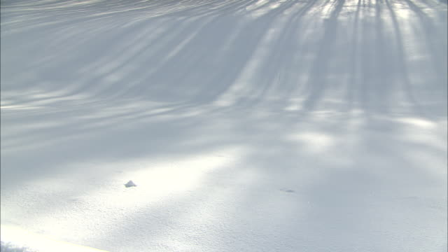 A windbreak forest cast shadows over a pristine blanket of snow.