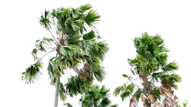 vídeos y material grabado en eventos de stock de windstorm - palmera