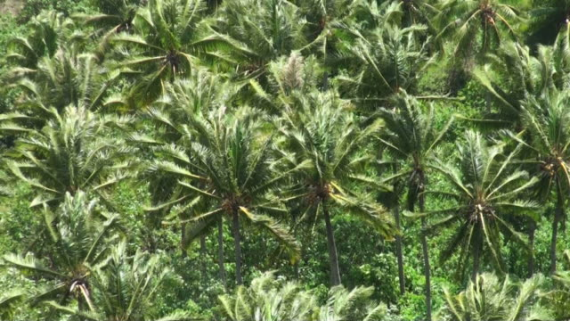 Windy coconut palms plantation in French Polynesia