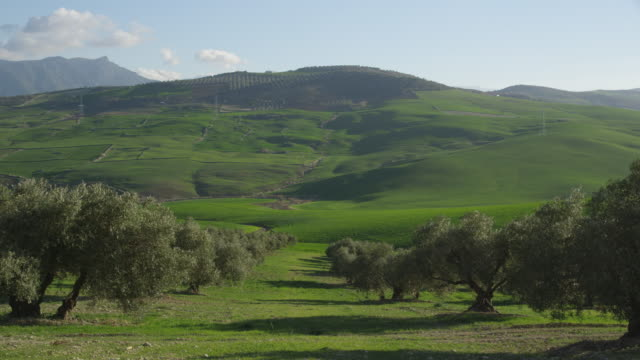 WS windy day in olive grove and green fields, RED R3D 4k