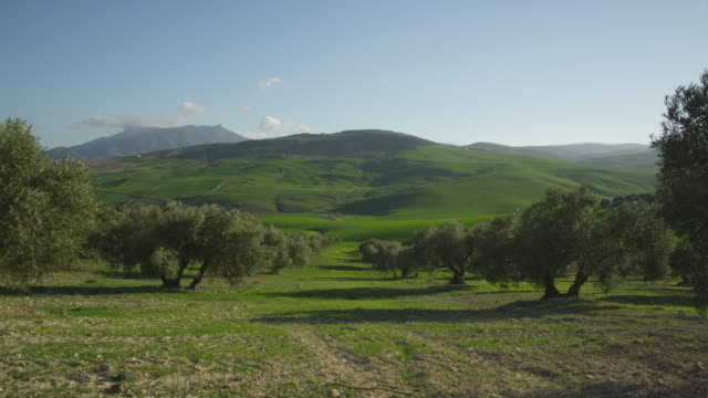 WS PAN windy day in olive grove and green fields, RED R3D 4k