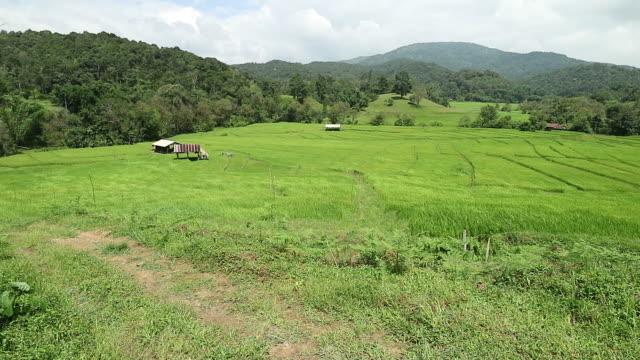 vídeos y material grabado en eventos de stock de viento en el campo de paddy del arroz - accesorio de cabeza