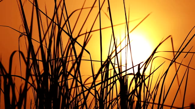 Windy Reeds and sunset background