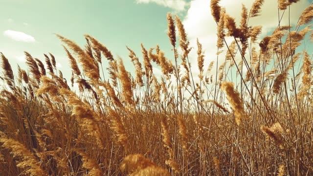 風の強い夏の日、大麦のフィールド - 穀物 ライムギ点の映像素材/bロール